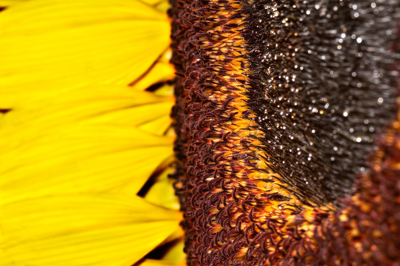 Sunflower No1.jpg