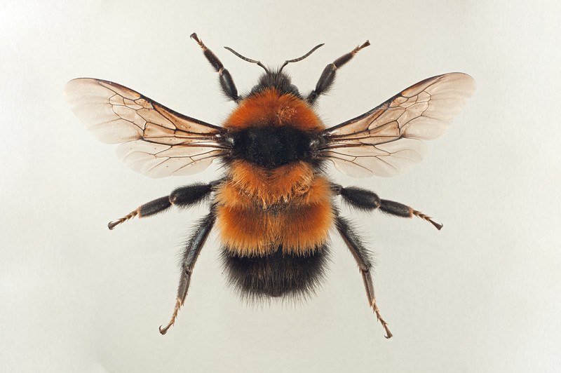 Bombus hyperboreus -dronning