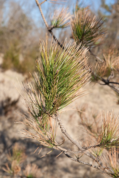 Sick Pine?