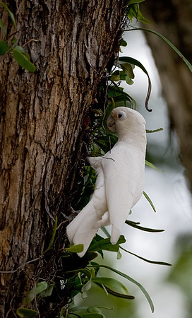 Tanimbar Cockatoo