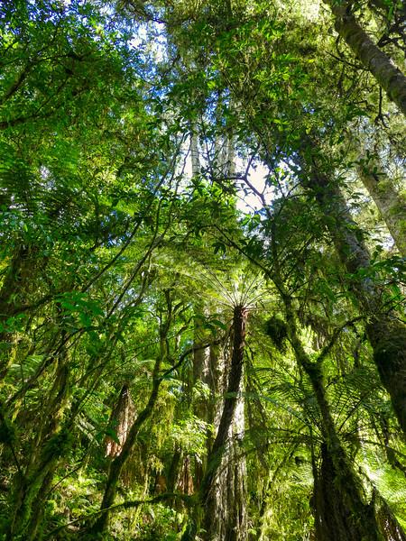 Giant Totara trees