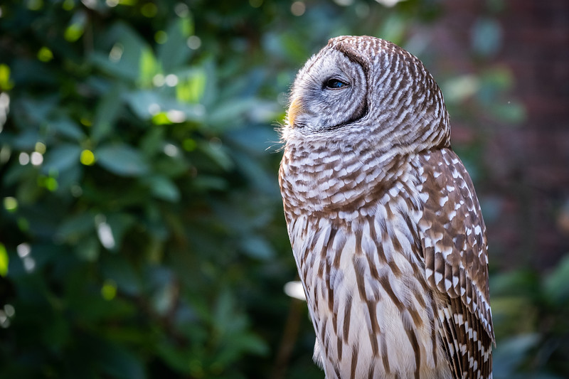 Screech Owl side.jpg