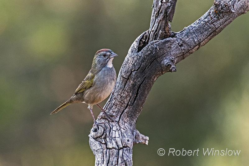Green-tailed Towhee, Pipilo chlorurus, La Plata County, Colorado, USA, North America