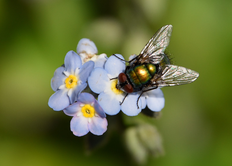 Fly-forget-me-not2-rjduff.jpg