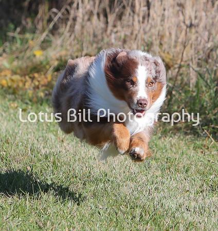 Red Merle Australian Shepherd SR31