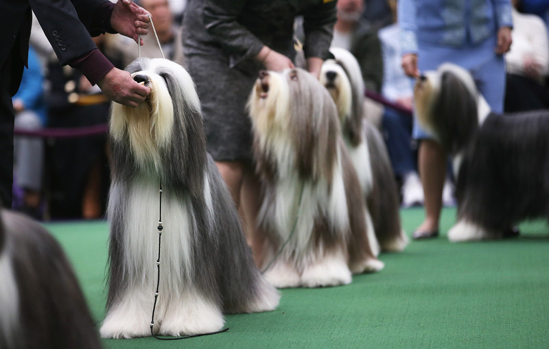 . Bearded collies compete in the 137th Westminster Kennel Club Dog Show on February 11, 2013 in New York City. A total of 2,721 dogs from 187 breeds and varieties are to compete in the event, hailed by organizers as the second oldest sporting competition in America, after the Kentucky Derby. The Best in Show dog is to be selected at Madison Square Garden Tuesday night.  (Photo by John Moore/Getty Images)