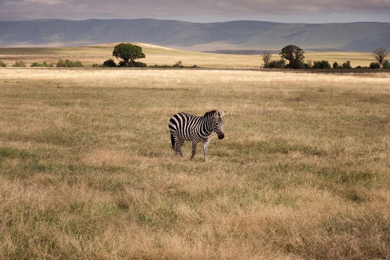 Mark-Fletcher-Solo Zebra.jpg