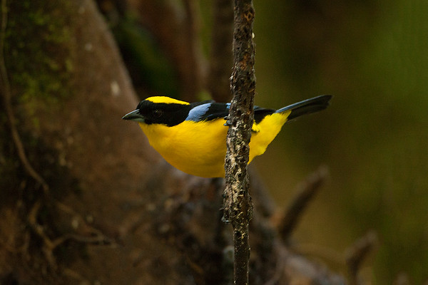 245 Thraupidae - Tanagers & Allies