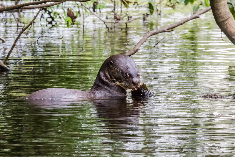 Napo Wildlife Center - Giant River Otter - Lina Stock