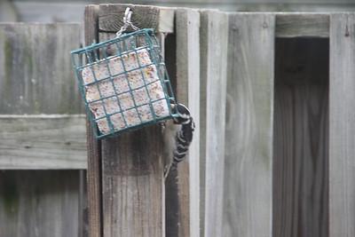 Woodpecker 20120225
