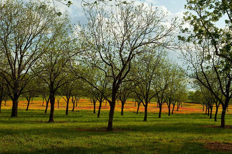 Texas wildflowers 584