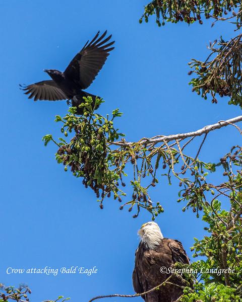 _DSC3569Attacking Crow.jpg