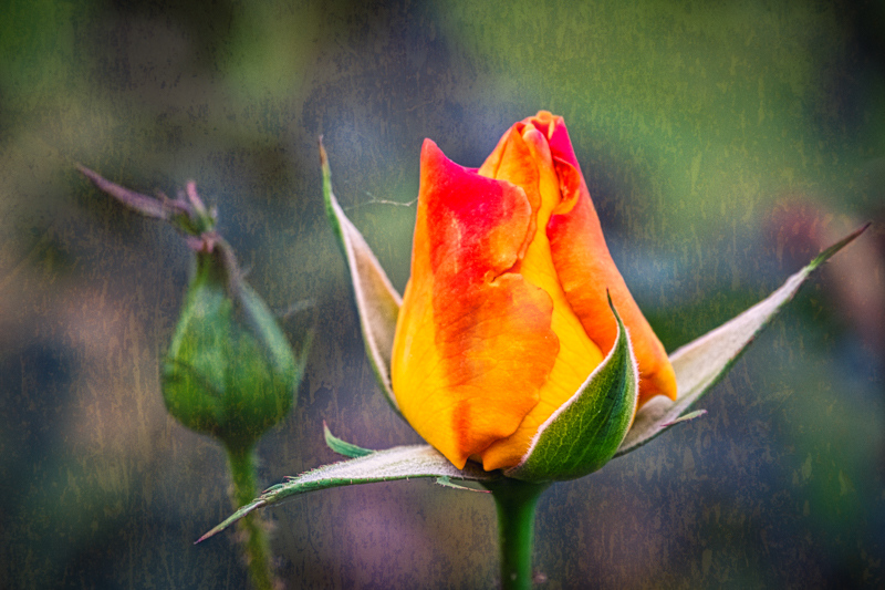 November 26 - Budding roses on a crisp fall day in Los Angeles.jpg