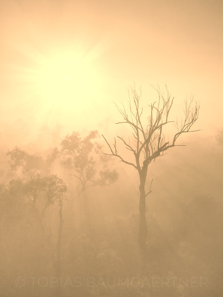 Foggy Morning Tree Silhouette