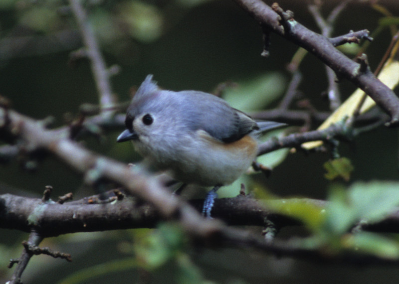 Tufted Titmouse from Burnet Woods, Cincinnati, OH  One of the first bird shots that I actually liked.  The Titmice are common, but always a welcome visitor.