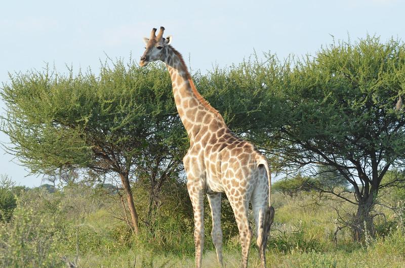 12-Giraffe - Kalahari - Anne Davis