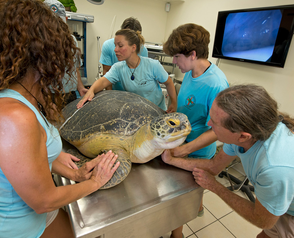 . In this photo provided by the Florida Keys News Bureau, Richie Moretti, right, founder of the Florida Keys-based Turtle Hospital soothes OD, a 320-pound green sea turtle, as it is measured and examined at the hospital in Marathon, Fla. Because of an irreparable collapsed lung, the turtle cannot be released into the wild. It is scheduled to be loaded on a FedEx flight to Las Vegas early Thursday, July 25, and live out its life at the The Shark Reef Aquarium at Mandalay Resort and Casino. (AP Photo/Florida Keys News Bureau, Andy Newman)