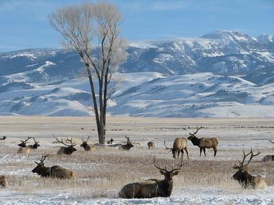 National Elk Refuge in Jackson Hole