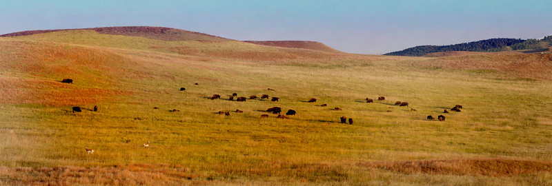 2011 Custer Buffalo Roundup
