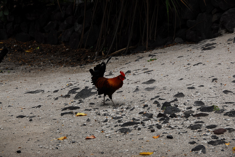 Rooster at Puʻukoholā Heiau National Historic Site, Hawaii