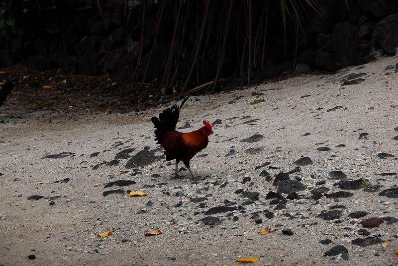 Rooster at Puʻukoholā Heiau National Historic Site, Hawaii