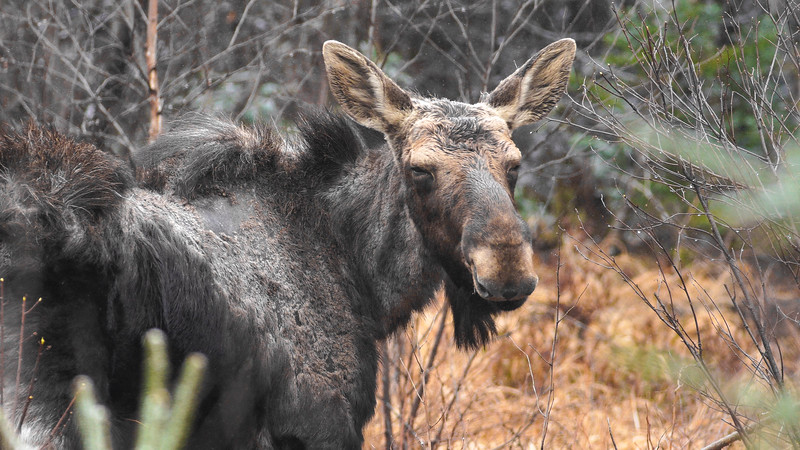 Moose ghost Moose CR15 Stoney River Forest Road Superior National Forest Lake County MN C0084-2-4.jpg