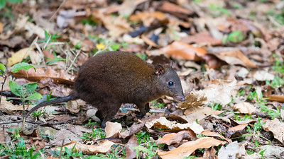 Musky Rat-kangaroo (Hypsiprymnodontidae)