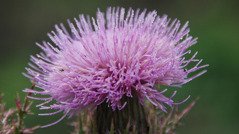 Thistle in purple
