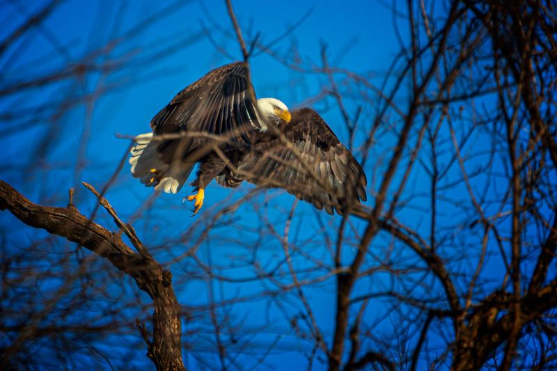 1.5.20 - West Benton County: American Bald Eagle