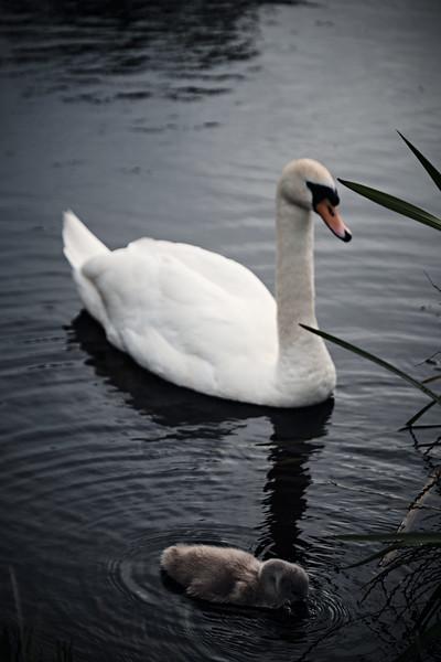 Swans_Of_Castletown050.jpg