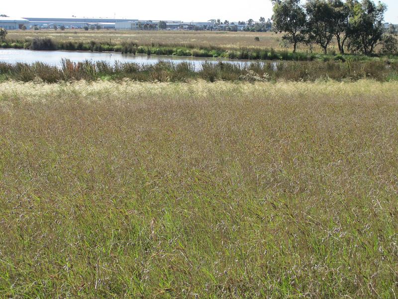 2012 - November - Chilean Needle Grass around swamp