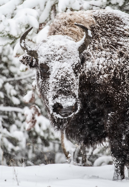 Bison in heavy snow Madison River Yellowstone National Park WY  IMG_1638.jpg