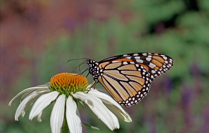 Monarch, take 2