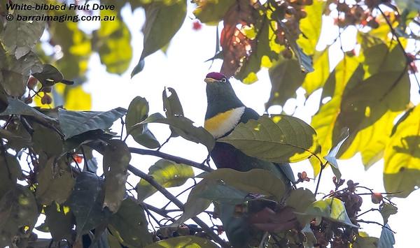 White-bibbed Fruit Dove Ptilinopus rivoli