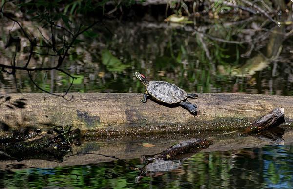 Red Eared Slider Turtle Sunbathing