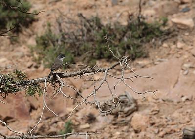 Orfeuskerttu (Sylvia hortensis)