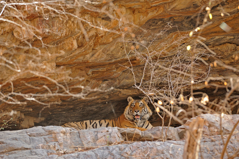 Tiger resting in a cave in Ranthambhore national park, India
