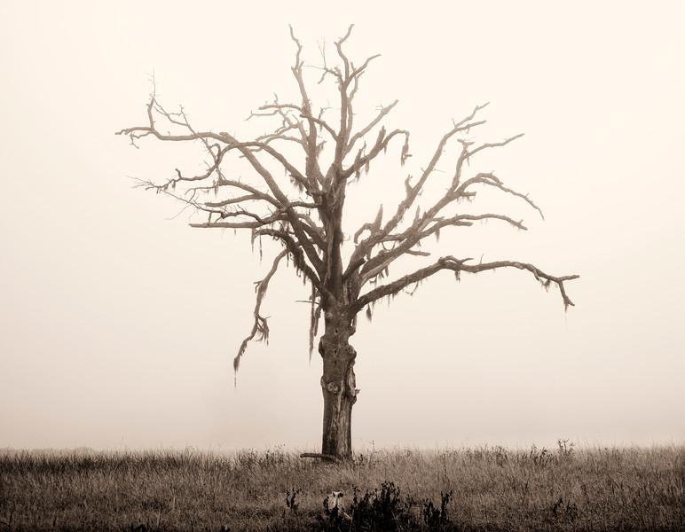 07-29-06 tree in fog sepia 4.jpg