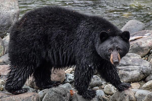 9-24-17 Bella Coola - Black Bear