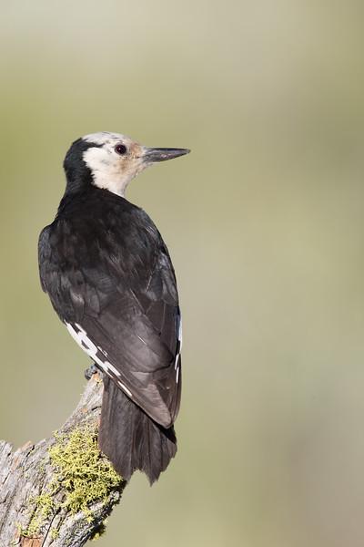 White-headed Woodpecker - Female - OR, USA