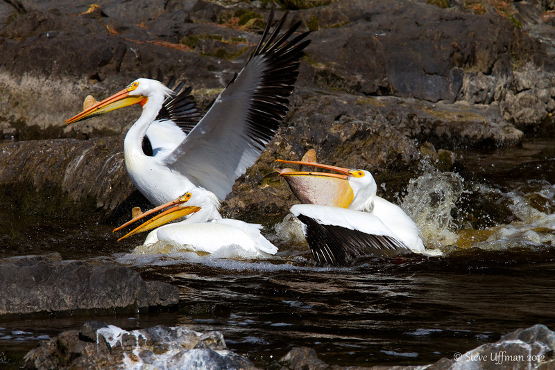 20120517-_MG_4959Minnesota_Pelicans-Edit.jpg