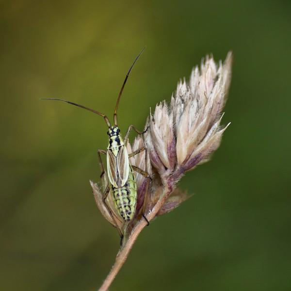 meadow plant bug, female