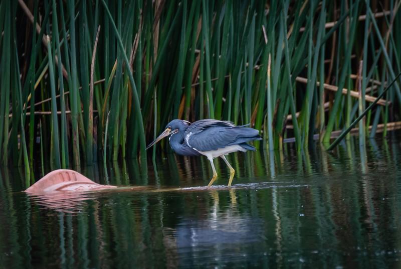 small blue heron wing spread 2 031619 (1 of 1).jpg