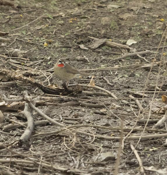 birds of india (7 of 17)Dec.jpg