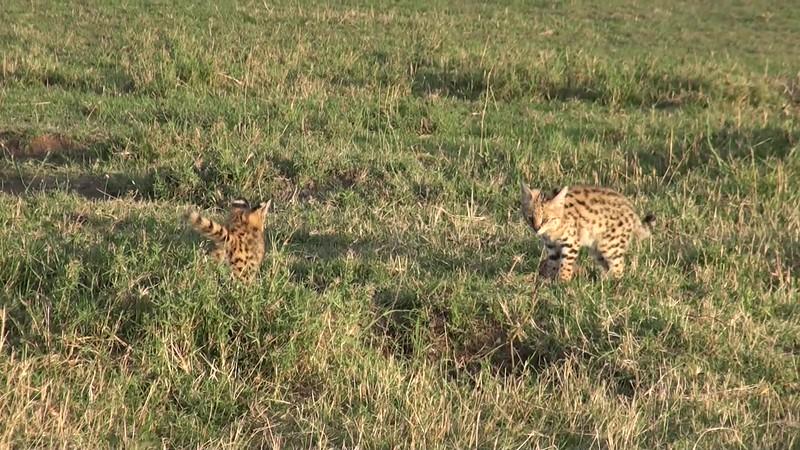 Serval kittens playtime, Masai Mara- Kenya
