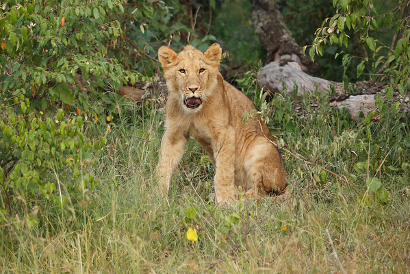 Lions Mara North Kenya 2014