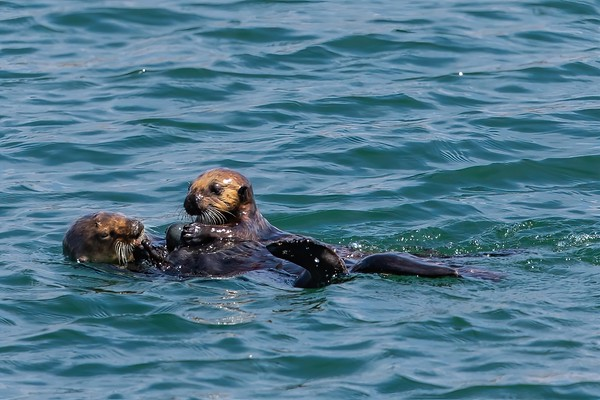Morro Bay Sea Otters