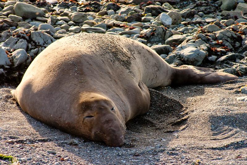 Sleepy Elephant Seal in Northern California