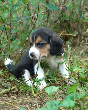 Nantucket Treweryn Beagles party at P. Cook 9-8-16