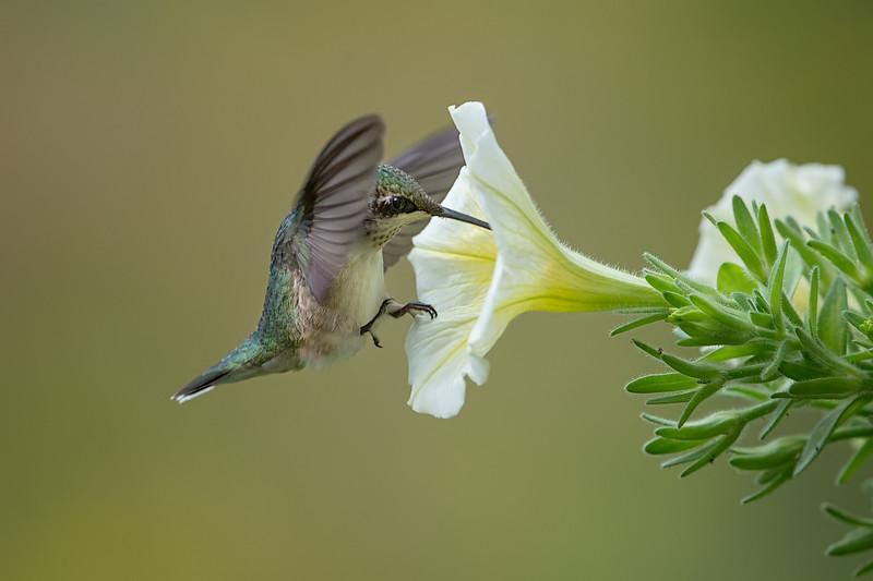 #1075  Ruby-Throated Hummingbird